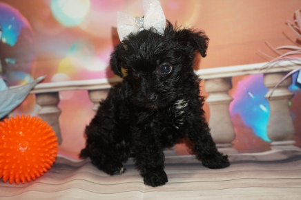 Mocha (Bella) Female CKC Schnoodle $2000 Ready 1/09 SOLD MY NEW HOME LONG GROVE, IL 1lb 9oz 6W4D Old
