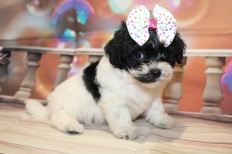 Mother Gothel (Gracie) Female CKC Malshipoo $2000 Ready 1/8 HAS DEPOSIT MY NEW HOME AURORA, NY 2lb 5.5oz 6W5D old