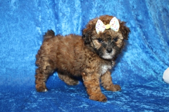 Queen Arianna (Bear) Female CKC Malshipoo $2000 Ready 1/8 HAS DEPOSIT MY NEW HOME CELEBRATION, FL 2lb 3oz 6W5D old