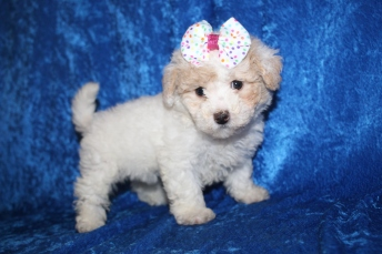 Tinkerbell (Belle) Female CKC Bichonpoo $2000 Ready 1/8 HAS DEPOSIT MY NEW HOME ST JOHNS, FL2lb 4.5oz 6W5D old