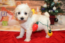 Cheetah Male CKC Schnoodle $2000 Ready 12/31 SOLD MY NEW HOME PLANT CITY, FL 1lb 7.7oz 6W2D old