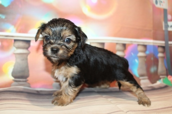 Ellie Female CKC Shorkipoo $2000 Ready 1/22 HAS DEPOSIT MY NEW HOME MIDDLEBURG, FL 1lb 9.6oz 4W4D old