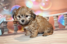 Flynn (Rudy) Male CKC Malshipoo $2000 Ready 1/8 HAS DEPOSIT MY NEW HOME JACKSONVILLE, FL 2lb 9oz 6W5D old