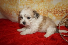 Ha Ha Female CKC Havamalt $2000 Ready 12/15 HAS DEPOSIT MY NEW HOME NICEVILLE, FL 1lb 10oz 6W Old