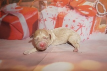 Kate Female CKC Havapoo $2000 Ready 2/20 HAS DEPOSIT MY NEW HOME PONTE VEDRA, FL 7.4 oz JUST BORN