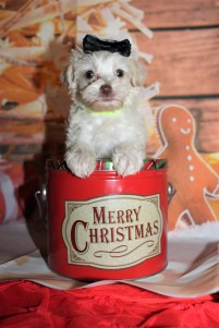 Kitty Female CKC Schnoodle $2000 Ready 12/31 HAS DEPOSIT MY NEW HOME PONTE VEDRA BEACH, FL 1lb 5.8oz 6W2D old