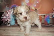 Latte (Schatzi) Male CKC Schnoodle $2000 Ready 1/09 SOLD MY NEW HOME JACKSONVILLE, FL 2lb 14oz 6W4D Old