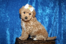 Maggie Female CKC Maltipoo $2000 Ready 1/15 SOLD MY NEW HOME JACKSONVILLE, FL 2lb 11oz 6W old