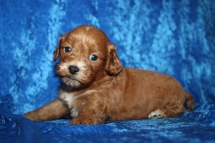Maximus (Sweet Pea) Male CKC Havapoo $2000 Ready 1/26 HAS DEPOSIT MY NEW HOME JACKSONVILLE, FL 1lb 11oz 4W1D old