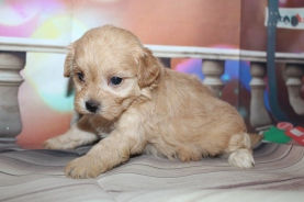 Megan (Lucy) Female CKC Havapoo $2000 Ready 1/26 HAS DEPOSIT MY NEW HOME PONTE VEDRA, FL 1lb 10oz 4W1D old