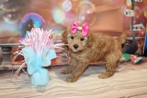Missy (Bella Rose) Female CKC Toy Poodle $2000 Ready 1/12 HAS DEPOSIT MY NEW HOME JACKSONVILLE, FL 2lb 7.5oz 6 Wks old