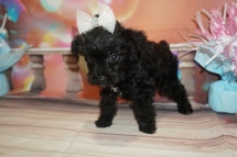 Mocha (Bella) Female CKC Schnoodle $2000 Ready 1/09 HAS DEPOSIT MY NEW HOME LONG GROVE, IL 1lb 9oz 6W4D Old