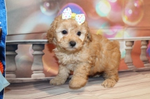 Prissy Female CKC Toy Poodle $2000 Ready 1/12 SOLD MY NEW HOME CLEARWATER, FL 2lb 3.5oz 6 Wks old