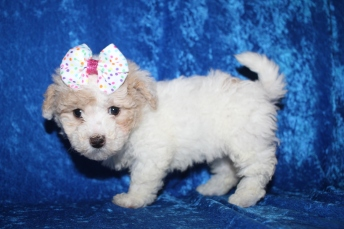 Tinkerbell (Belle) Female CKC Bichonpoo $2000 Ready 1/8 HAS DEPOSIT MY NEW HOME ST JOHNS, FL 2lb 4.5oz 6W5D old