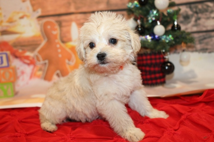 Bear (Sarge) Male CKC Schnoodle $2000 Ready 12/31 HAS DEPOSIT MY NEW HOME WAYCROSS, GA 1lb 9.5oz 6W2D old