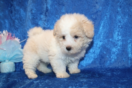 Chase (Enzo) Male CKC Bichonpoo $2000 Ready 1/8 HAS DEPOSIT MY NEW HOME STATEN ISLAND, NY 2lb 4.5oz 6W5D old