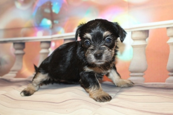 Elsa Female CKC Shorkipoo $2000 Ready 1/22 HAS DEPOSIT MY NEW HOME PONTE VEDRA, FL 1lb 9oz 4W4D old