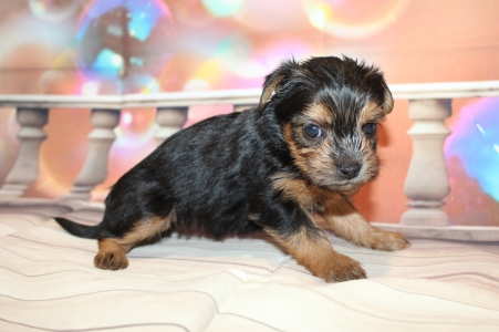 Elvis Male CKC Shorkipoo $2000 Ready 1/22 HAS DEPOSIT MY NEW HOME JACKSONVILLE, FL 1lb 10oz 4W4D old