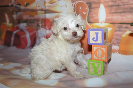 Kitty Female CKC Schnoodle $2000 Ready 12/31 SOLD MY NEW HOME PONTE VEDRA BEACH, FL 1lb 5.8oz 6W2D old