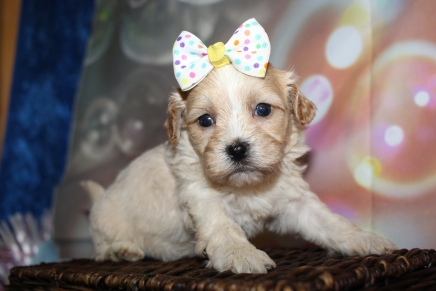 Macy Female CKC Havapoo $2000 Ready 1/26 HAS DEPOSIT MY NEW HOME PONTE VEDRA BEACH, FL 1lb 8oz 4W1D old