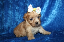 Milly Female CKC Havapoo $2000 Ready 1/26 HAS DEPOSIT MY NEW HOME JACKSONVILLE, FL 1lb 3.7oz 4W1D old