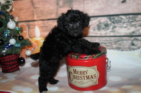 Monkey (Thorn) Male CKC Schnoodle $2000 Ready 12/31 SOLD MY NEW HOME VIRGINIA BEACH, VA 1lb 10oz 6W2D old