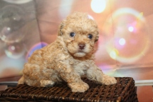 Pilgrim Male CKC Maltipoo $2000 Ready 1/21 HAS DEPOSIT MY NEW HOME JACKSONVILLE, FL 1lb 4oz 4W5D Old
