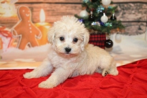 Bear (Sarge) Male CKC Schnoodle $2000 Ready 12/31 SOLD MY NEW HOME WAYCROSS, GA 1lb 9.5oz 6W2D old