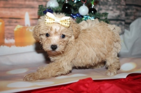 Bunny Female CKC Schnoodle $2000 Ready 12/31 HAS DEPOSIT MY NEW HOME MIAMI, FL 1lb 5oz 6W2D old