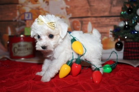 Dove Female CKC Schnoodle $2000 Ready 12/31 SOLD MY NEW HOME PONTE VEDRA, FL 1lb 6.5oz 6W2D old