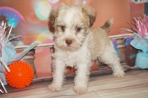 Latte (Schatzi) Male CKC Schnoodle $2000 Ready 1/9 HAS DEPOSIT MY NEW HOME JACKSONVILLE, FL 2lb 14oz 6W4D Old