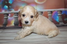 Marley Male CKC Havapoo $2000 Ready 1/26 HAS DEPOSIT MY NEW HOME NORTHFIELD, VT 1lb 11oz 4W1D old