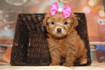 Rapunzel (Harlee) Female CKC Malshipoo $2000 Ready 1/8 HAS DEPOSIT MY NEW HOME ST AUGUSTINE BEACH, FL 1lb 13.5oz 6W5D old