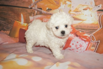 Joy Female Havanese $2000 Ready 12/22 SOLD MY NEW HOME JACKSONVILLE, FL 1lb 15oz 7 weeks old