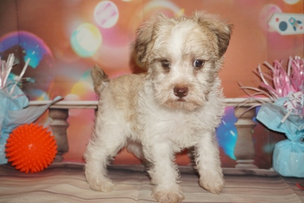Latte (Schatzi) Male CKC Schnoodle $2000 Ready 1/09 HAS DEPOSIT MY NEW HOME JACKSONVILLE, FL 2lb 14oz 6W4D Old