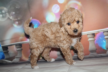 Maggie Female CKC Maltipoo $2000 Ready 1/15 HAS DEPOSIT MY NEW HOME JACKSONVILLE, FL 2lb 11oz 6W old