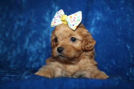 Molly (Zoddy) Female CKC Havapoo $2000 Ready 1/26 HAS DEPOSIT MY NEW HOME JACKSONVILLE, FL 1lb 3.5oz 4W1D old