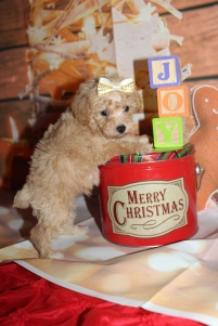 Bunny Female CKC Schnoodle $2000 Ready 12/31 SOLD MY NEW HOME MIAMI, FL 1lb 5oz 6W2D old
