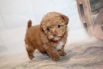 Blessing Female CKC Maltipoo $2000 Ready 1/21 SOLD MY NEW HOME THE VILLAGES, FL 1lb 4oz 5W5D old