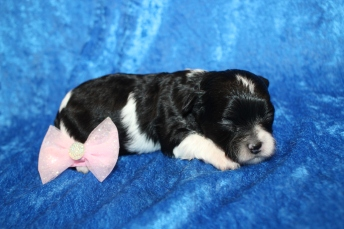 Candy Female CKC Shihpoo $2000 Ready 2/17 HAS DEPOSIT MY NEW HOME PENSACOLA, FL 10.4oz 2 Wks Old