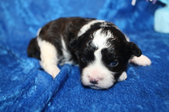 Cuddle Bear Male CKC Shihpoo $2000 Ready 2/17 HAS DEPOSIT MY NEW HOME JACKSONVILLE, FL 15.7oz 2 Wks Old
