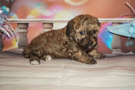 Joey Male CKC Maltipoo $2000 Ready 2/2 HAS DEPOSIT MY NEW HOME ST AUGUSTINE, FL 2 Lbs 1oz 4W5D Old