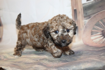 Joey Male CKC Maltipoo $2000 Ready 2/2 SOLD MY NEW HOME ST AUGUSTINE, FL 2lb 7oz 6W2D old