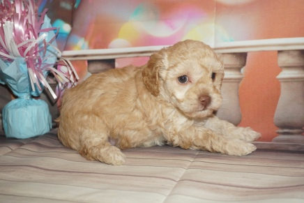 Josephine Female CKC Maltipoo $2000 Ready 2/2 HAS DEPOSIT MY NEW HOME MIDDLEBURG, FL 2Lbs 3.5oz 4W5D Old