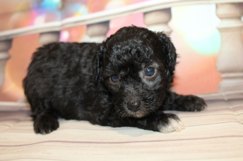 Kisses Female CKC Mini Aussiedoodle $2000 Ready 2/3 HAS DEPOSIT MY NEW HOME JACKSONVILLE, FL 1lb 7.5oz 4W old