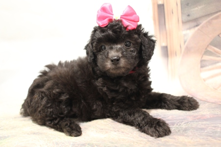 Love (Bailey) Female CKC Mini Aussiedoodle $2000 Ready 2/3 SOLD MY NEW HOME JACKSONVILLE, FL 2lb 5oz 6wks old