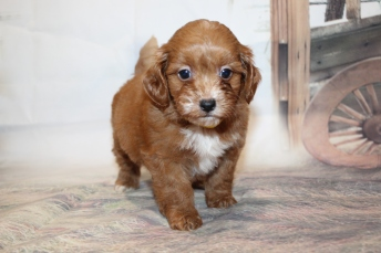 Maximus (Sweet Pea) Male CKC Havapoo $2000 Ready 1/26 SOLD MY NEW HOME Jacksonville, FL 2lb 6.5oz 6W1D old