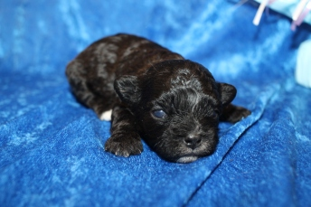 Pookie Male CKC Shihpoo $2000 Ready 2/17 HAS DEPOSIT MY NEW HOME FT MYERS, FL 13oz 2 Weeks Old