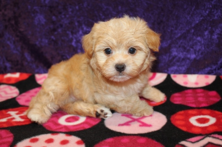 Rolly (Rico) Male CKC Havashire $2000 Ready 2/6 HAS DEPOSIT MY NEW HOME JACKSONVILLE, FL 1lb 11.5oz 6W2D old