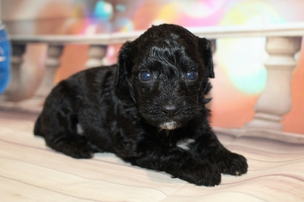 Valentine (Max) Male CKC Mini Aussiedoodle $2000 Ready 2/3 SOLD MY NEW HOME PALATKA, FL 2lb 4oz 6wks old